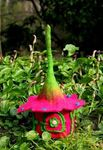 Himalayan Journey Buttercup hot pink Fairy Home